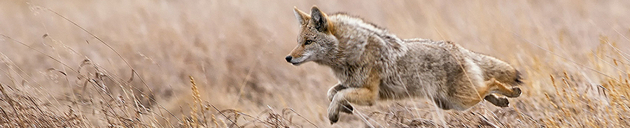 Coyote InFlight - Animals & Landscape Photography