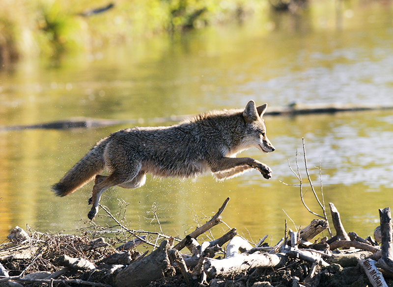 coyote jumping running