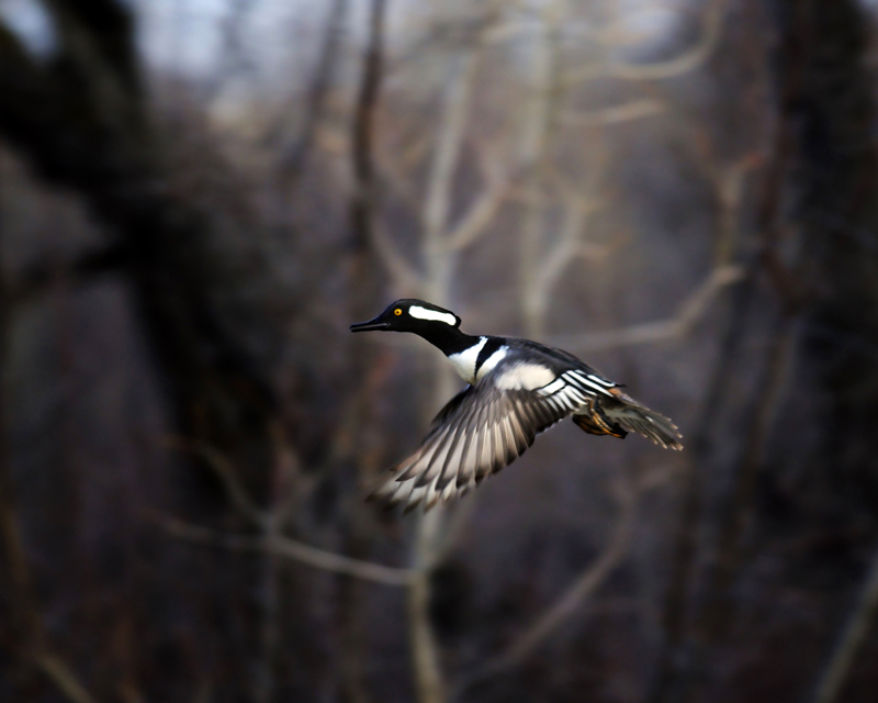 hooded merganser inflight