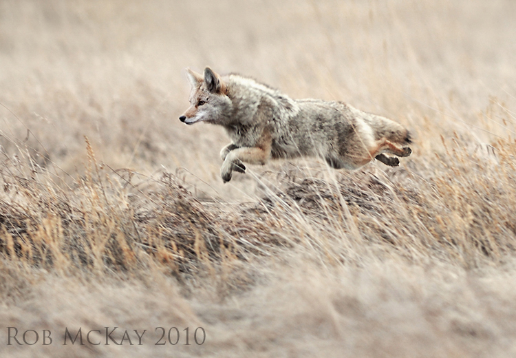 leaping jumping coyote over the grassland