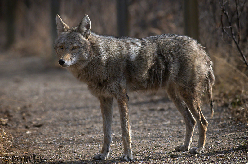 male coyote stares at me as I aproach on the pathway