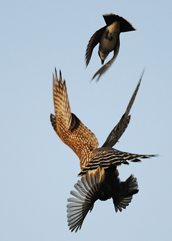 merlin falcon attacking kingbird