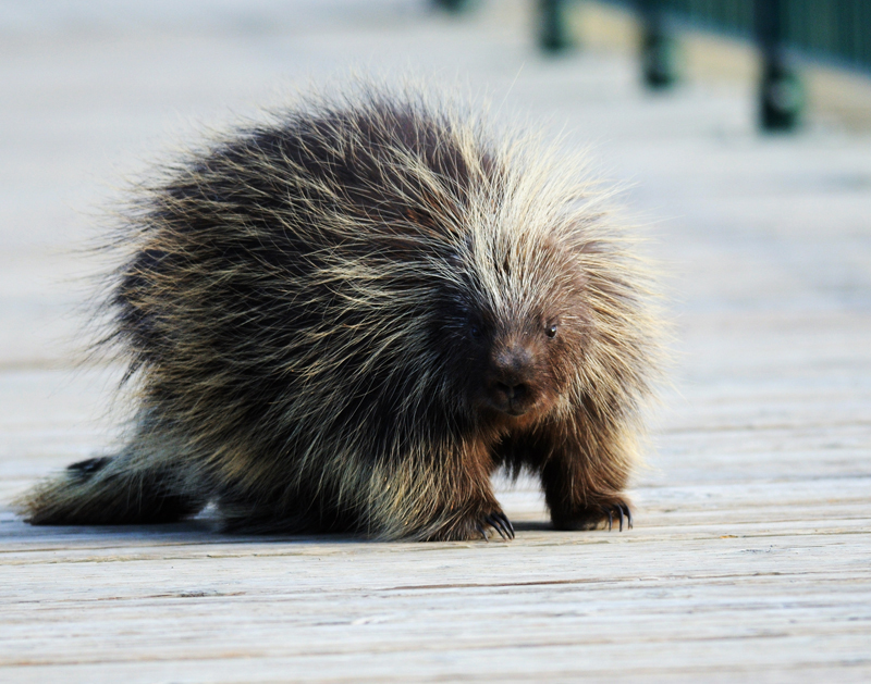 porcupine waling accross the lagoon bridge