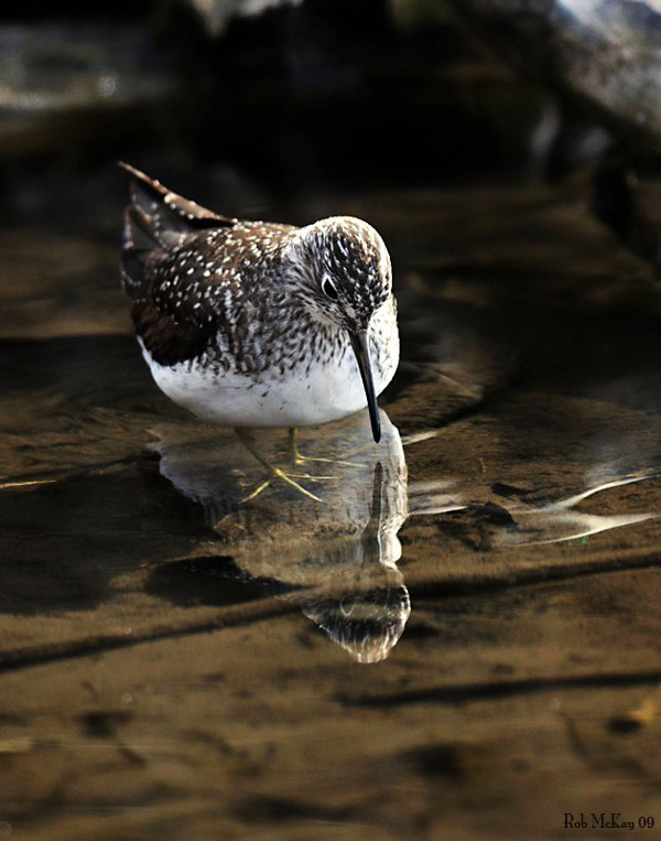 solitary sandpiper shorebird