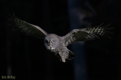 great-grey-owls-night-flight