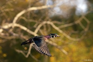 Colourful male wood duck in flight with fall colours in the background