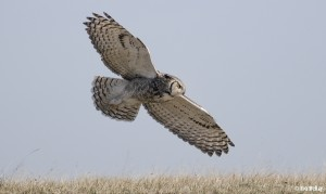 In-Flight GHO - Great Horned Owl