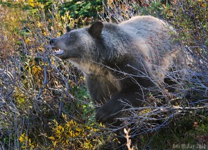 grizzly-DSC_6674